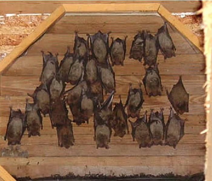 Biohazard Call SERVPRO of Putnam County if you discover a mouse or bat infestation in your home!